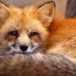 Сотрудниками Галицкого парка были спасены 3 истощенные лисицы