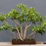 Деревья фикусы и их разновидности