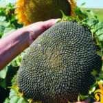 Особенности и преимущества семян «Тунка»