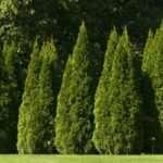 Туя — экзотическое украшение двора