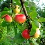 Как выбрать саженцы яблони, чтобы получить хороший урожай?