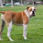 Собака бульдог — отзывчивая и добрая порода