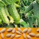 Семена огурца в интернет-магазине